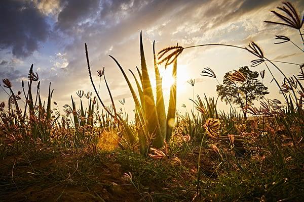 Aloe Vera Plant at Sunset